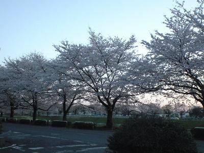 夕闇せまる体育館前の桜