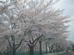 某団地内の桜