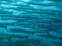 タオ島ダイビング セイルロック バラクーダ