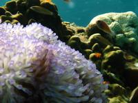 タオ島ダイビング 魅惑の触手②