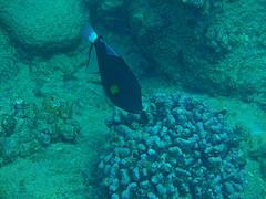 タオ島 ダイビング クロモンガラ