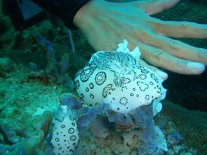 タオ島 ダイビング ブチウミウシ