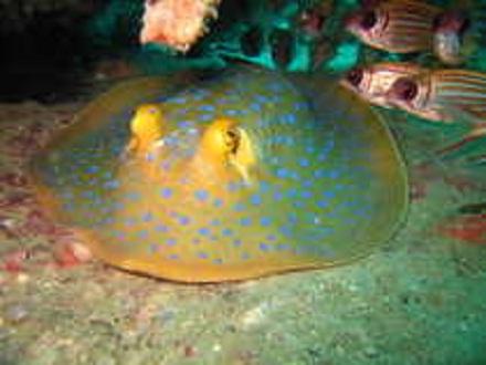 タオ島 魚 アオマダラエイ