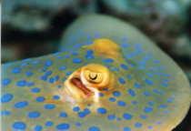 タオ島 ダイビング 魚 アオマダラエイ