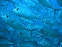 タオ島 ダイビング 魚 ギンガメアジ