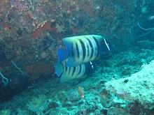 タオ島 ダイビング ロクセンヤッコ