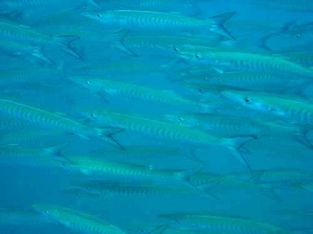 タオ島 ダイビング シェベロンバラクーダ