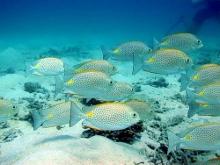 タオ島ダイビング 魚 ゴマアイゴ