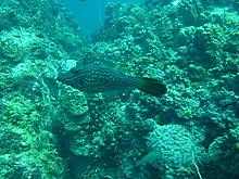 タオ島 ダイビング ホワイトロック ソウシハギ