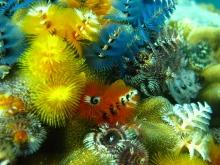 タオ島 ダイビング 水中 イバラカンザシ