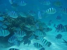 タオ島 ダイビング 魚 ロクセンスズメダイ