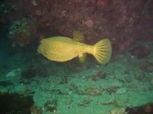 タオ島 ダイビング 魚 ミナミハコフグ