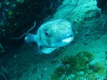 タオ島 魚 ダイビング ネズミフグ