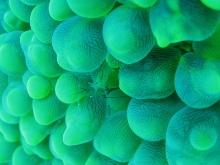 タオ島 ダイビング 魚 バブルコーラルシュリンプ