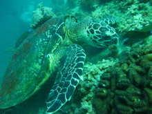 タオ島 魚 タイマイ
