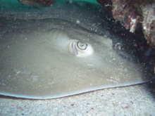 タオ島 魚 ジェンキンススティングレイ