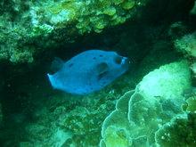 タオ島 魚 コクテンフグ