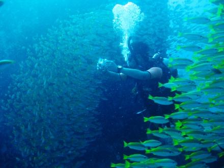 タオ島 魚 キンセンフエダイ ダイバー