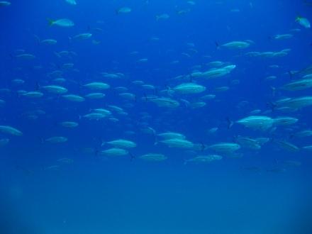 タオ島 魚 オニアジ サーモクライン