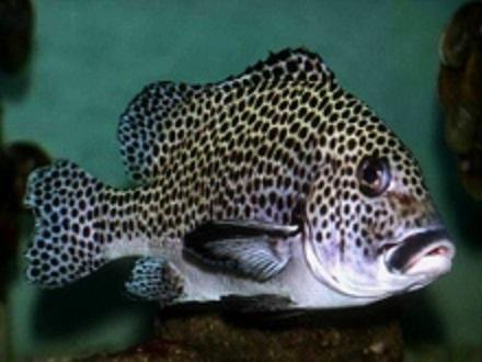タオ島 魚 チョウチョウコショウダイ 成魚