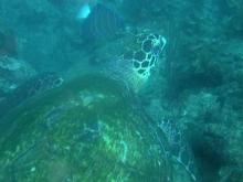 タオ島 魚 タイマイ ダイビング