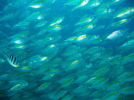タオ島 魚 ホソヒラアジ玉