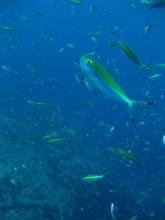タオ島 魚 イエローバンドフュージュラー