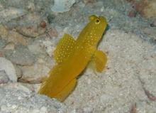タオ島 魚 ギンガハゼ 黄色