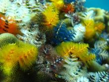 タオ島 魚 イバラカンザシ