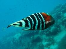 タオ島 魚 ヤシャベラ
