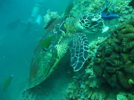 タオ島 ダイビング 魚 カメ
