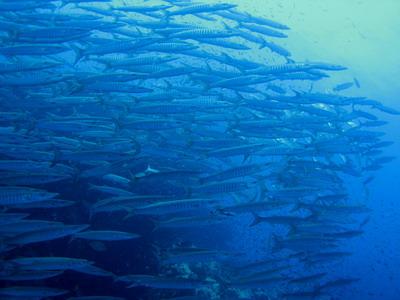 タオ島ダイビング チュンポンピナクル バラクーダ