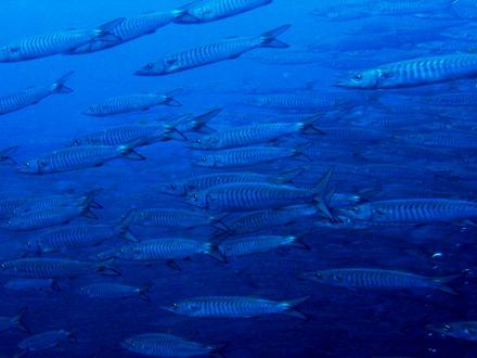 タオ島 ダイビング シェベロン