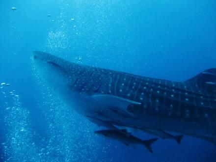 タオ島 ダイビング 魚 ジンベエザメ1