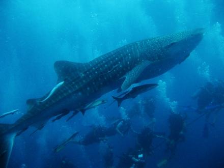 タオ島 ダイビング 魚 ジンベエザメ2