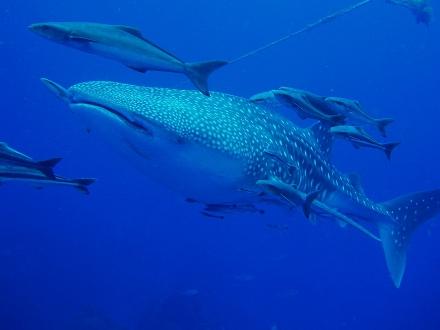 タオ島 魚 ジンベエザメ