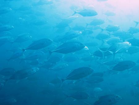 タオ島ダイビング ギンガメアジ1