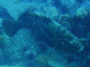 タオ島 ダイビング アカマダラハタ