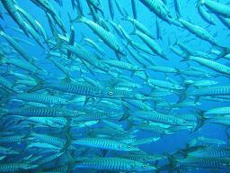 タオ島 ダイビング バラクーダ2