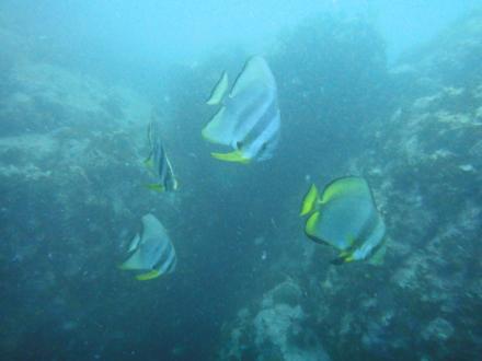 タオ島ダイビング チュンポンツバメウオ