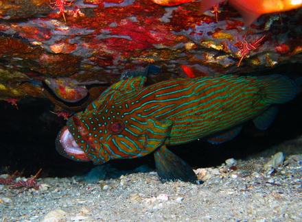 タイ タオ島 ダイビング 魚 アオスジハタ