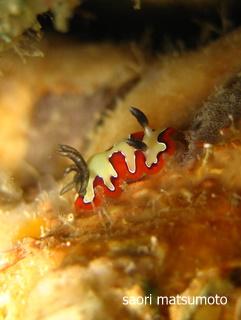 フジナミウミウシ(タオ島 ホワイトロック)