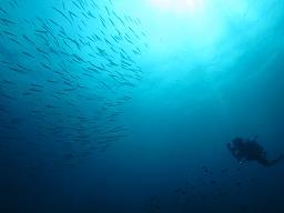 タオ島 ダイビング バラクーダ