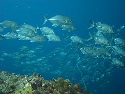 タオ島 ダイビング ギンガメアジ
