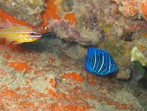 タオ島ダイビング 魚 ワヌケヤッコ幼魚