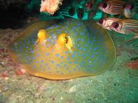 タオ島ダイビング ブルースポッテッドスティングレイ