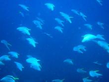 タオ島 魚 ツバメウオ