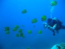 タオ島 ダイビング 魚 ツキチョウチョウウオ玉
