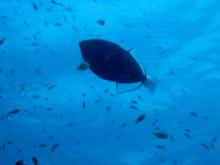 タオ島 魚 クロモンガラ
