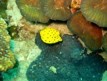 タオ島 ダイビング 魚 ミナミハコフグ幼魚